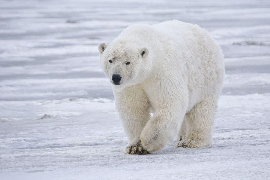 The polar bear population is declining