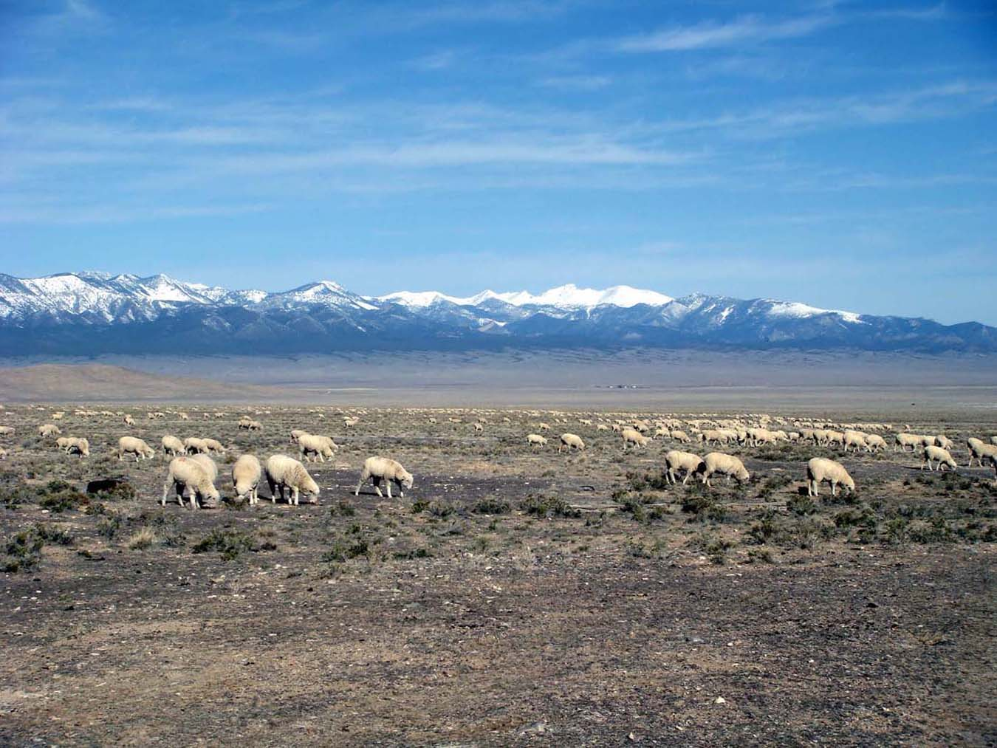 Sheep grazing in Snake Valley, Utah