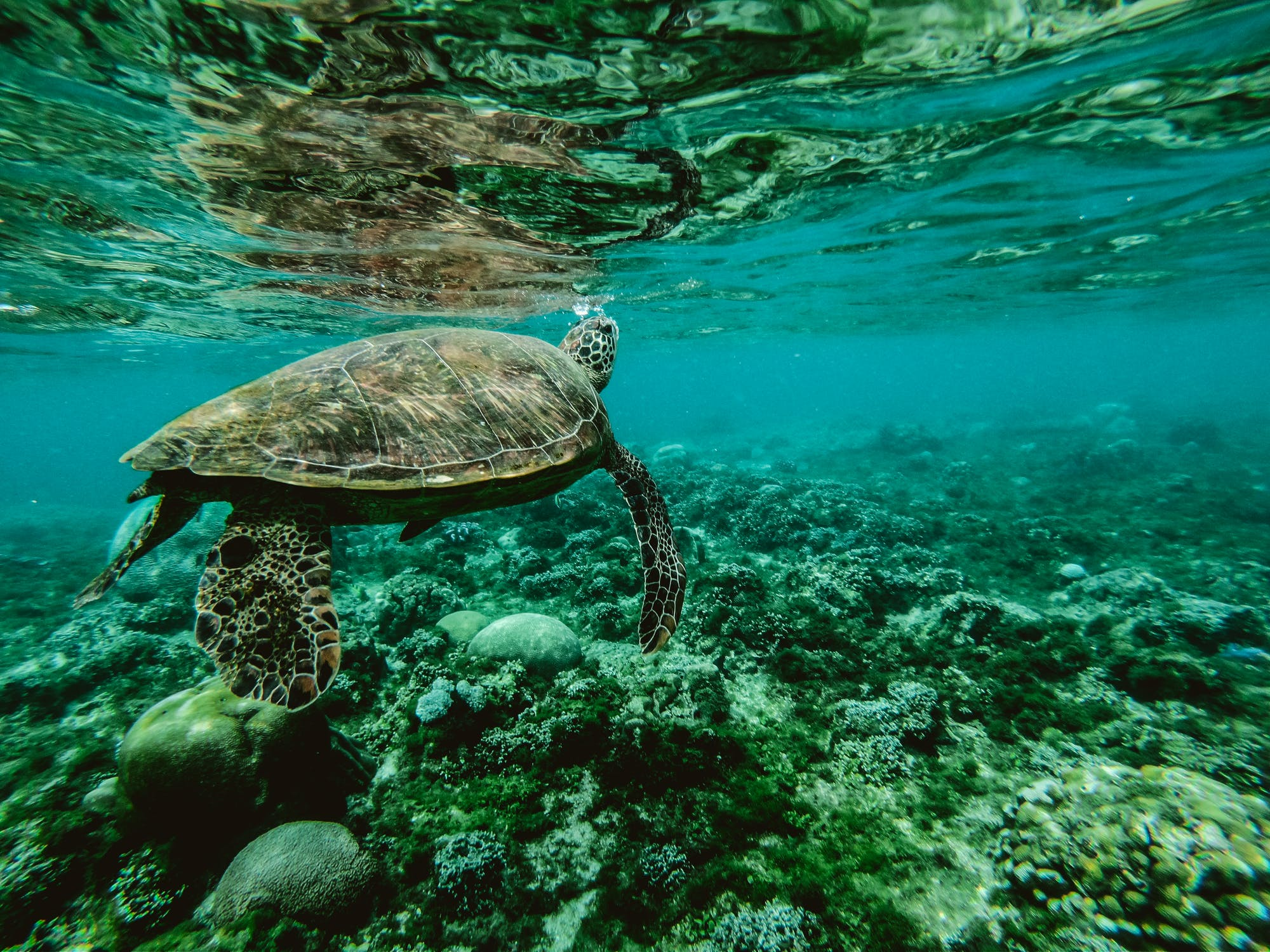 Turtle with coral