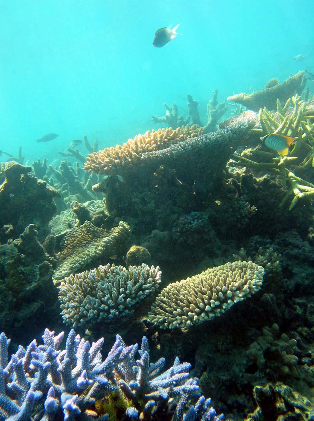 Coral reefs are bleaching due to ocean acidification