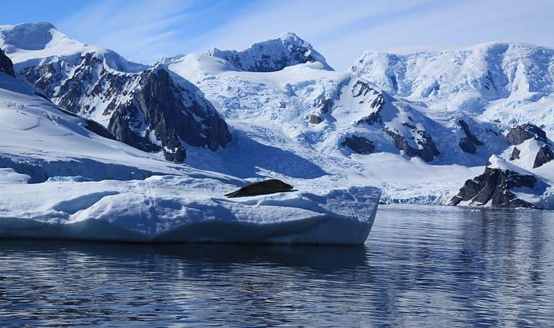Crabeater Seal in Paradise Harbour, Antarctica