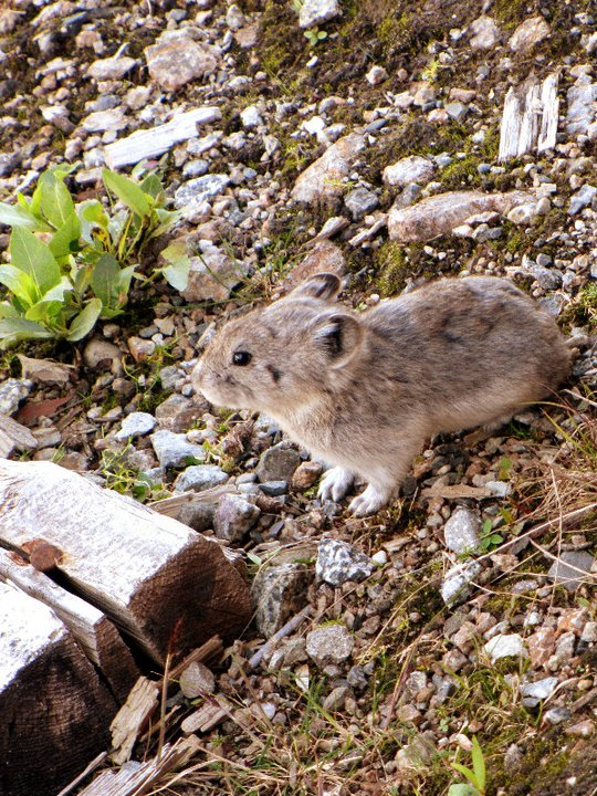 Pikas are one of the many species that could become extinct due to abrupt climate change